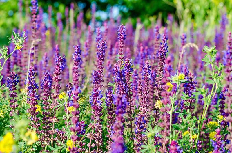 Härlig blommande medicinsk vis man på fältet arkivfoton