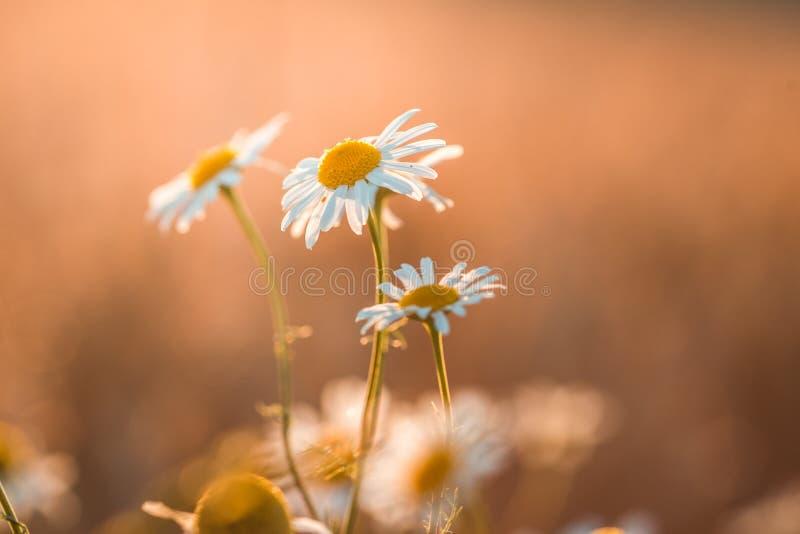 Härlig blommande prästkrage på en grön äng på solnedgången fotografering för bildbyråer