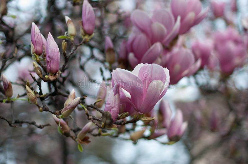 Härlig blommande rosa magnoliafilial vektor f?r detaljerad teckning f?r bakgrund blom- royaltyfria bilder