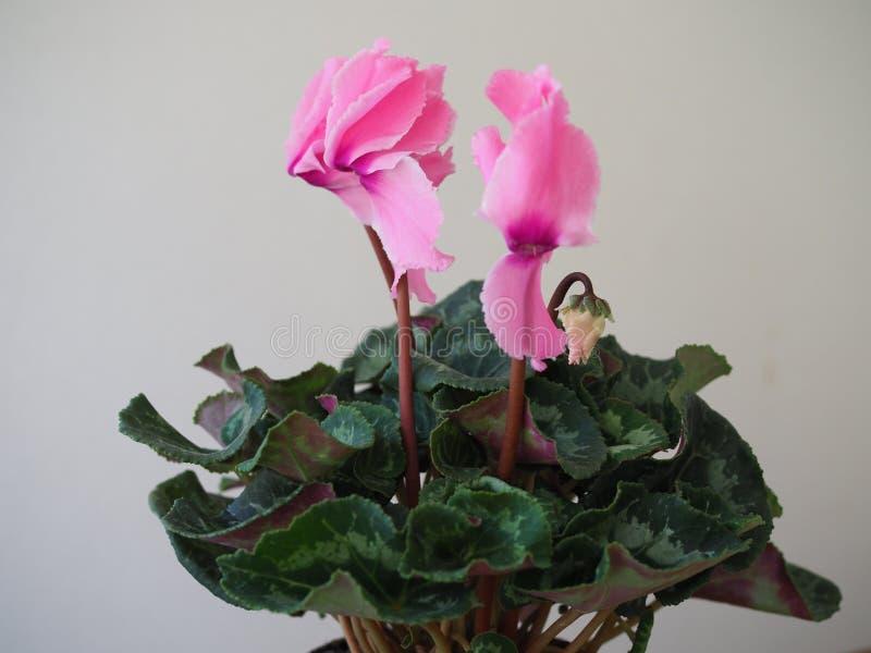 Härlig blommande vårblomma - rosa frottécyklamen fotografering för bildbyråer