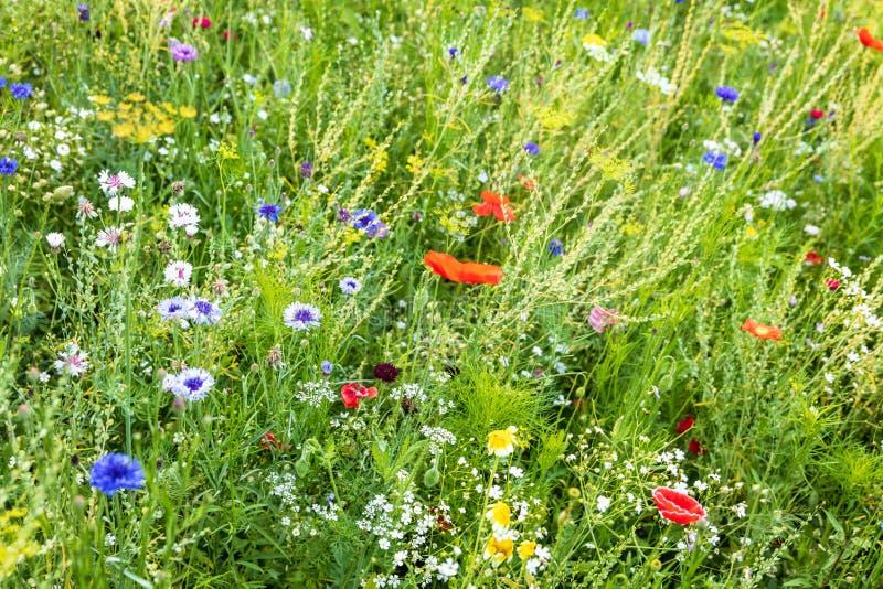 Härlig blommande vildblommaträdgård, honungväxter för bin royaltyfri foto