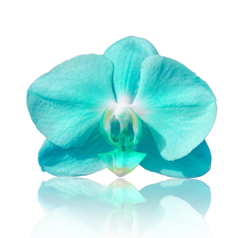 Härlig blommaorkidé, blå phalaenopsis royaltyfri foto