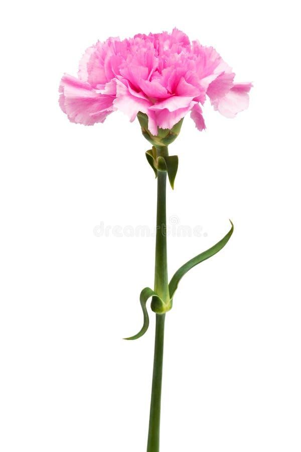 härlig blommapink arkivbilder