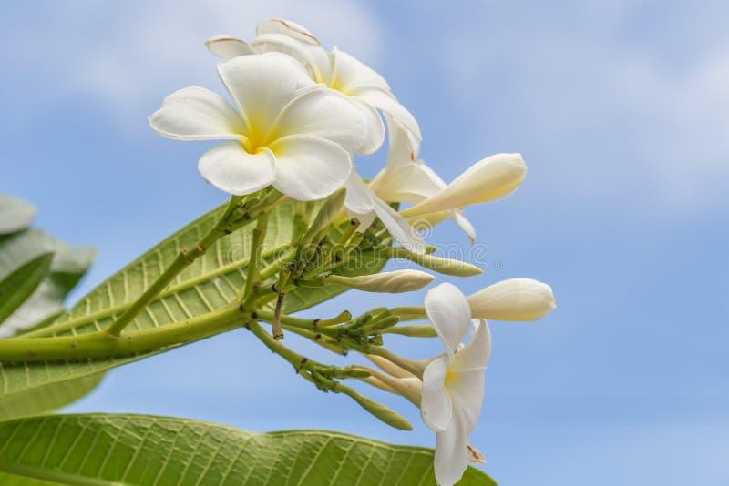 härlig blommaplumeria royaltyfri fotografi