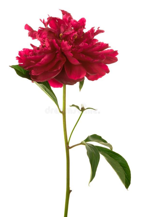 härlig blommared royaltyfri bild