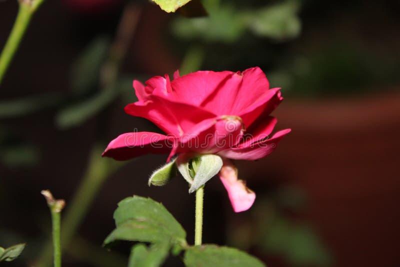 härlig blommared steg royaltyfria foton