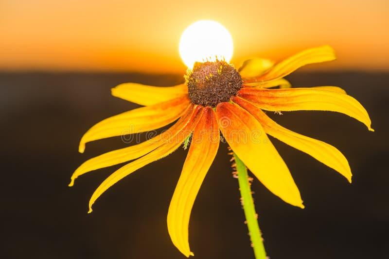 Download Härlig Blommarudbeckia I Strålarna Av Gryning Fotografering för Bildbyråer - Bild av sommar, säsong: 76701079