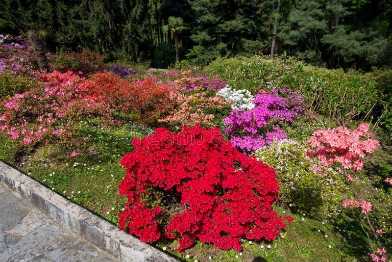 Härlig blommasammansättning av azalean i botaniska trädgården av villan Taranto i Pallanza, Verbania, Italien royaltyfri fotografi