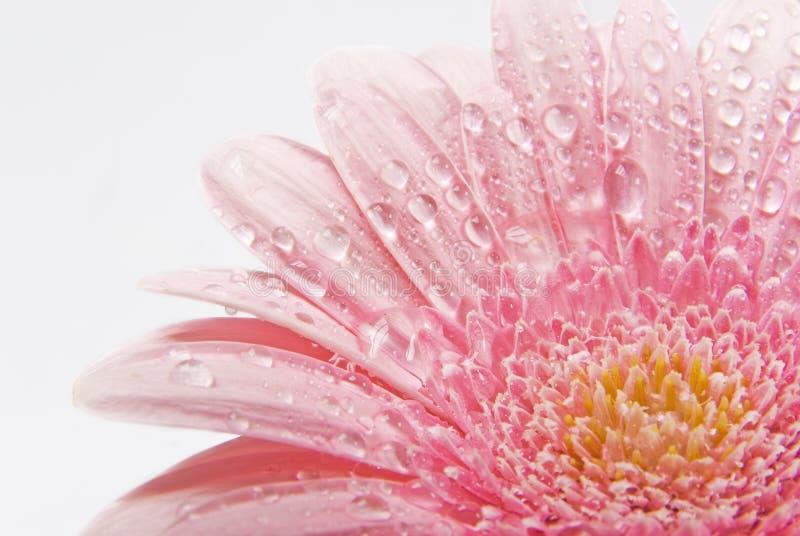 härlig blommawhite för bakgrund royaltyfri bild