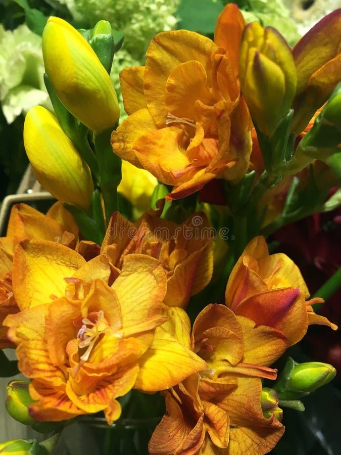 Härlig blomning av det röda och gula freesiablommaslutet upp Röd orange freesiablomma, closeup royaltyfri foto