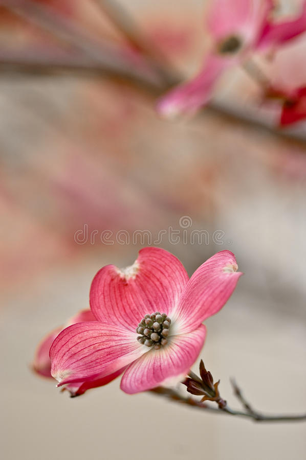 härlig blomningcopyspacedogwood arkivfoto