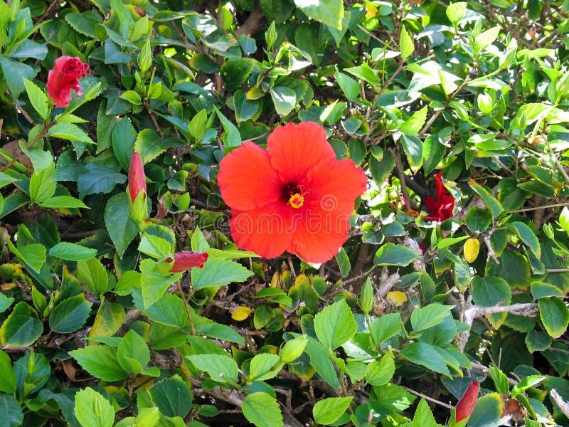 Härlig blomninghibiskus i trädgården arkivfoto