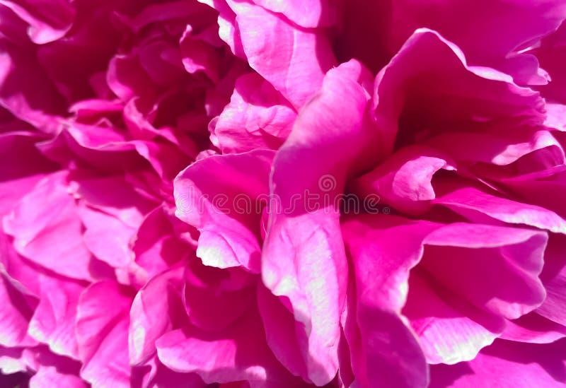 Härlig blomningpionnärbild royaltyfri foto