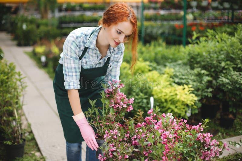 Härlig blomsterhandlare i förkläde- och rosa färghandskar som står och arbetar lyckligt med blommor i växthus fotografering för bildbyråer