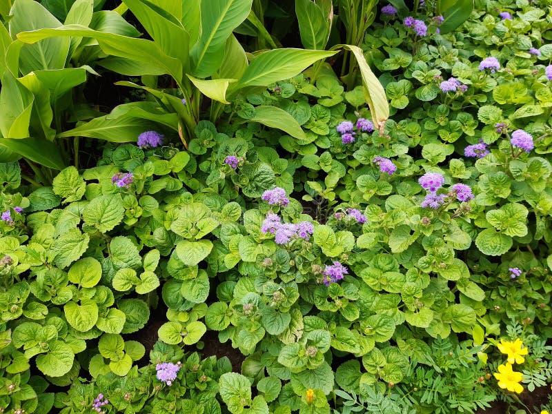 Härlig blomsterrabatt med blåa blommor, blom- bakgrund royaltyfri bild