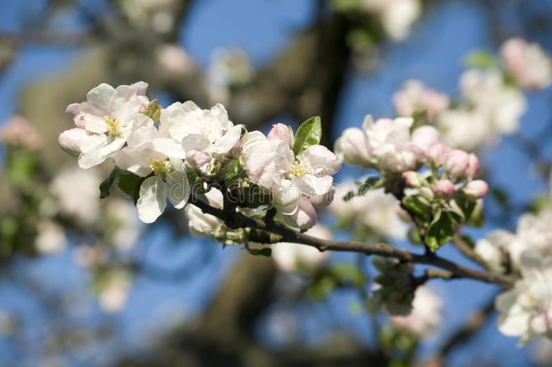 härlig blomstra fjädertree för äpple fotografering för bildbyråer