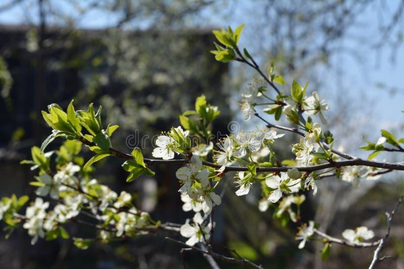 Härlig blomstra trädgård i bygd i vår Filialer med vita blommor och nya gröna sidor av plommonträdet royaltyfri fotografi