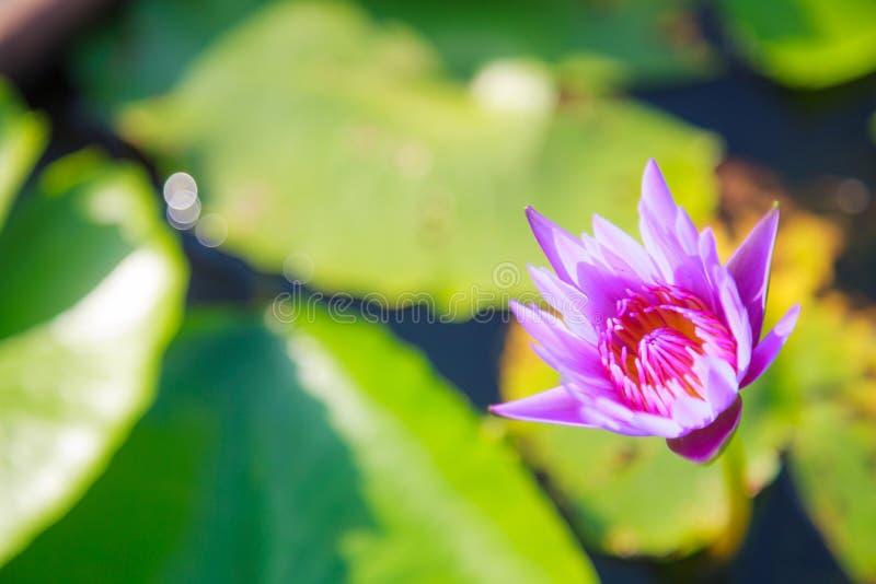Härlig blomstra vatten- purpurfärgad blomma för färgnäckroslotusblomma i grön dammbakgrund Natur naturlig växt, flora, royaltyfri fotografi