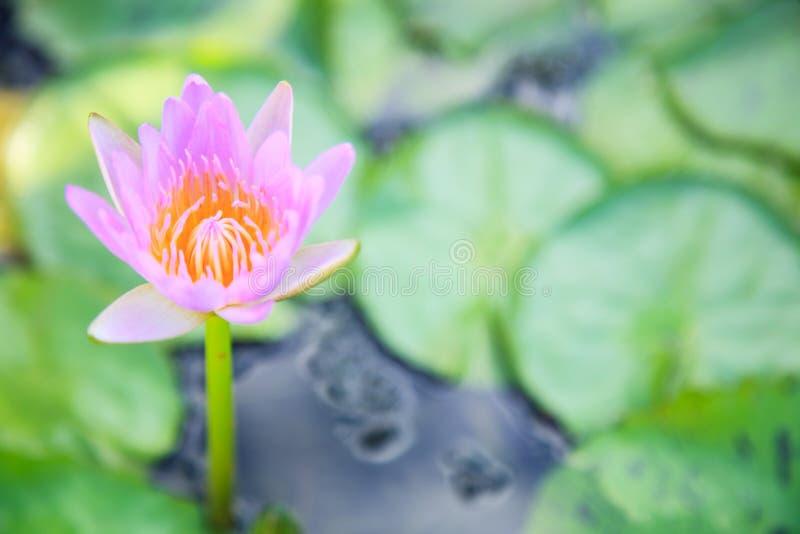 Härlig blomstra vatten- rosa blomma för färgnäckroslotusblomma i grön dammbakgrund Natur naturlig växt, flora, arkivbild