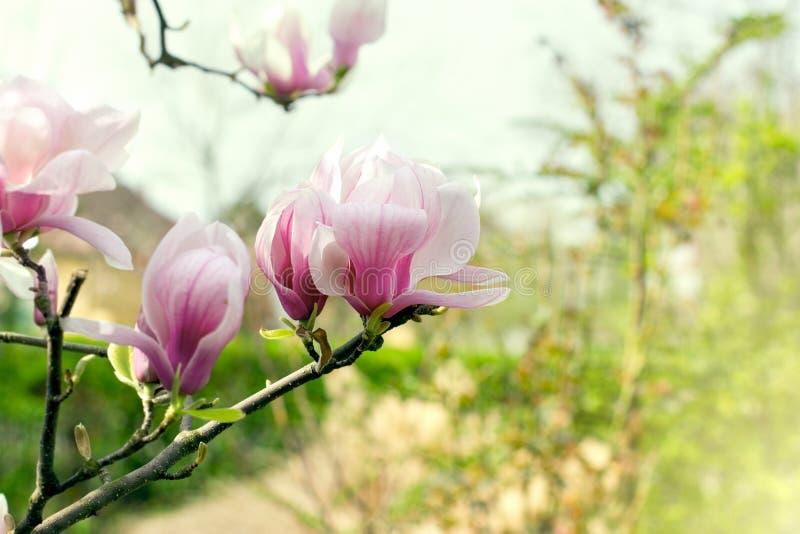 Härlig blomstrad magnoliafilial i vår arkivbilder