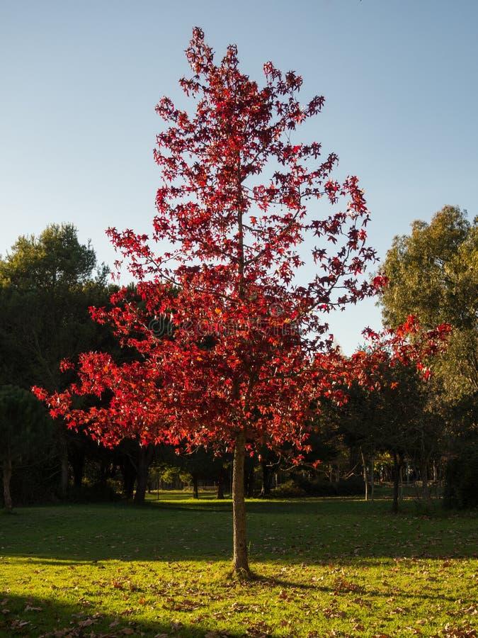 Härlig brand röda Autumn Leaves royaltyfria foton