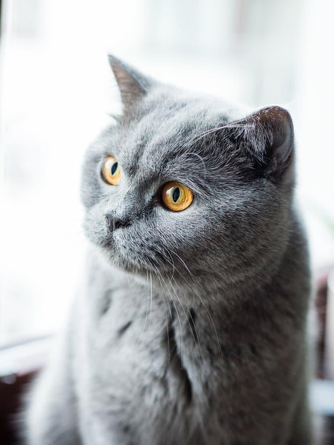 Härlig brittisk grå katt, närbildstående, stora gula ögon arkivfoto