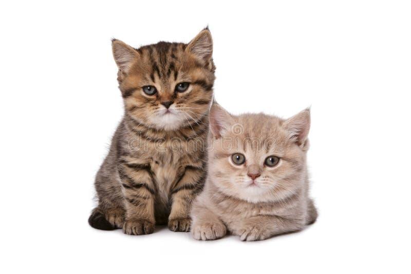 härlig brittisk kattunge två royaltyfria foton