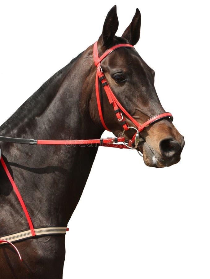 Härlig brun häst på vit bakgrund royaltyfri fotografi