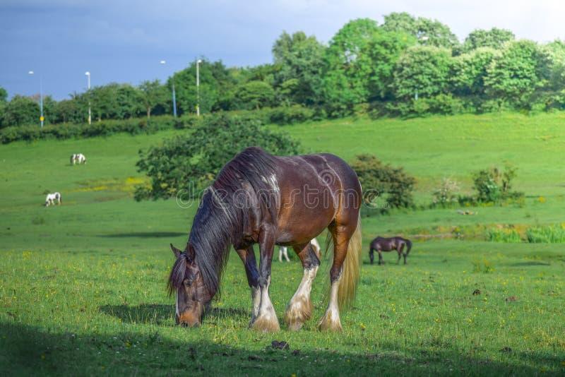 Härlig brun häst som betar i en äng och äter gräs i ett grönt fält royaltyfri fotografi
