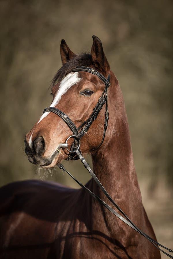 Härlig brun häststående med skogen för tygel på våren royaltyfri bild