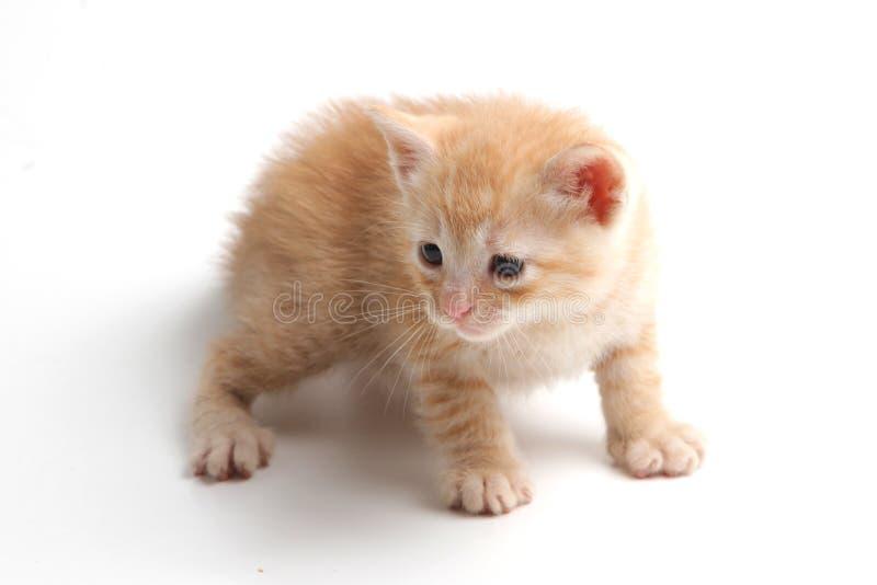Härlig brun kattunge på en vit bakgrund royaltyfria bilder