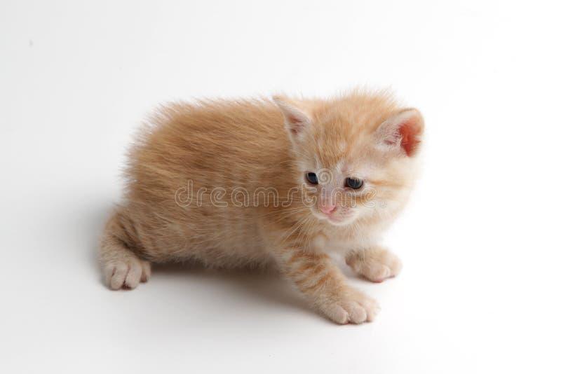Härlig brun kattunge på en vit bakgrund arkivfoton