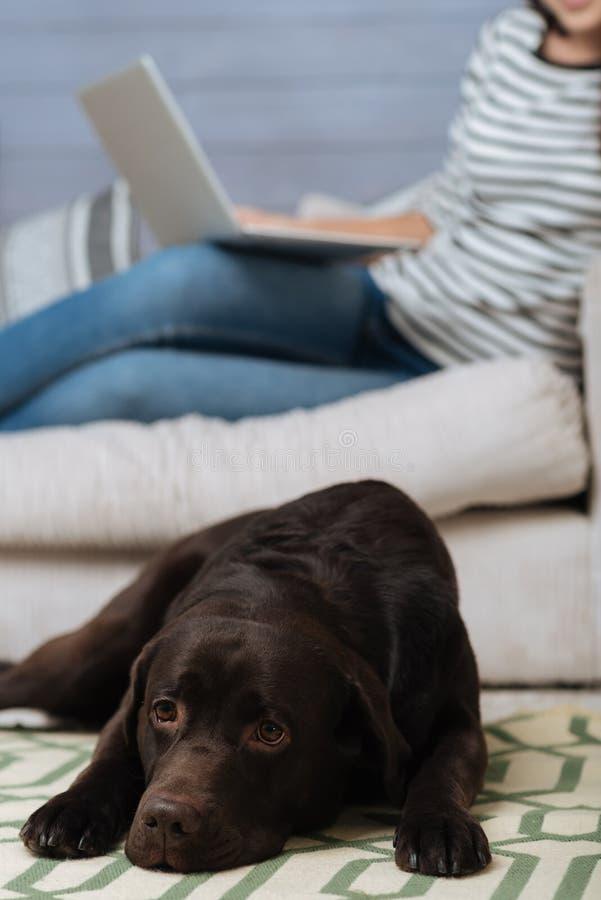 Härlig brun labrador som ser ledsen fotografering för bildbyråer