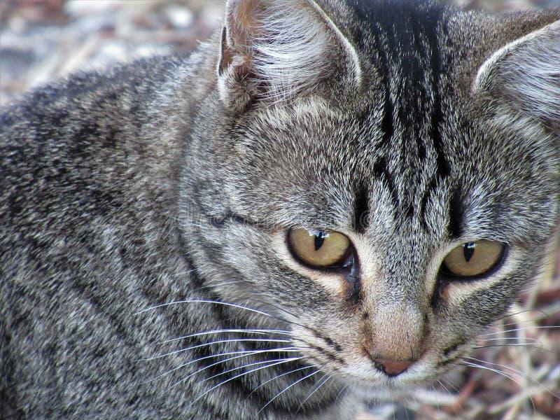 Härlig brun synad kattcloseup royaltyfri bild