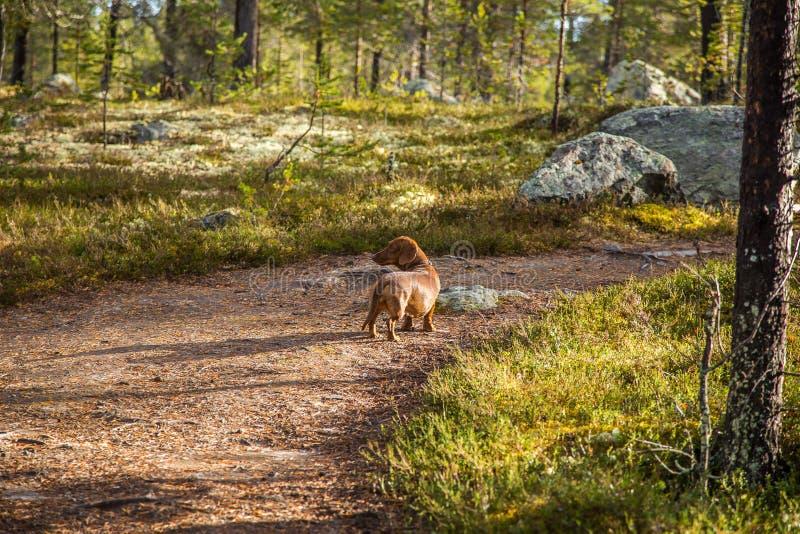 Härlig brun tax som går i det färgrika höstlandskapet för skog arkivbilder