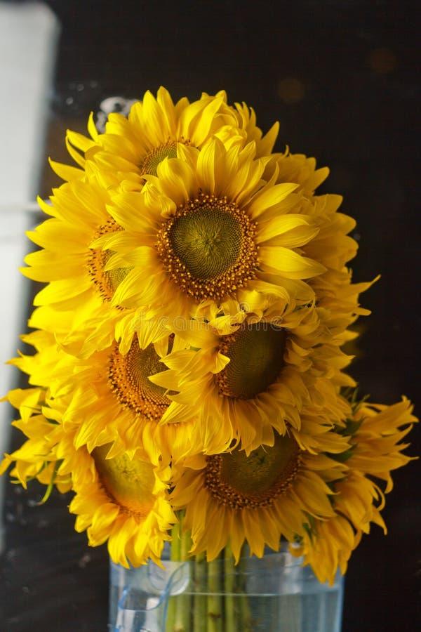 Härlig bukett av gula blommor för varmt pollen av en omogen solrosnärbild på svart bakgrund, bästa sikt, sommar, höst, fotografering för bildbyråer