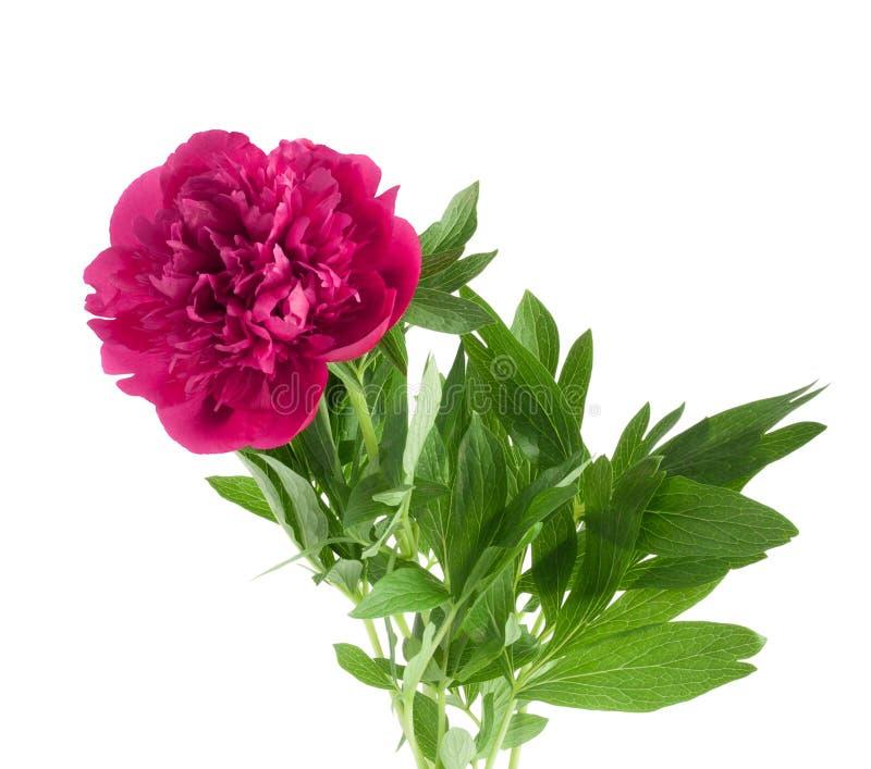 Härlig bukett av rosa pioner royaltyfri bild