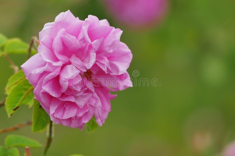 H?rlig bulgarisk Rosa damascena royaltyfria bilder