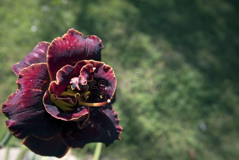 Härlig burgundy knoppningblomma av den trädgårds- frottétulpan arkivfoto