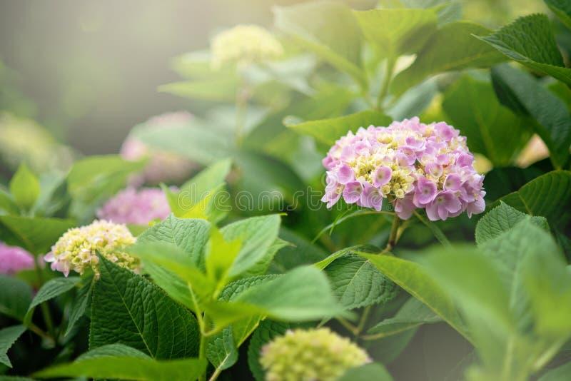 härlig buske av blomman för hortensiablommarosa färger som blommar i vår och sommar i en trädgård fotografering för bildbyråer