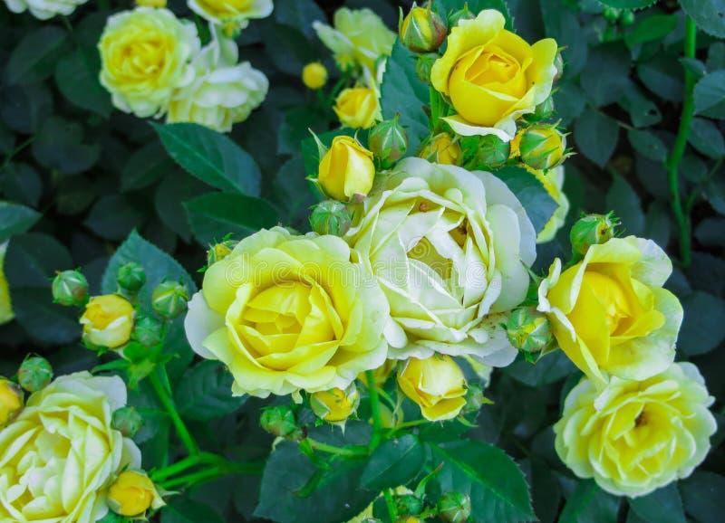 Härlig buske av gula rosor i en vårträdgård Steg trädgården royaltyfria foton