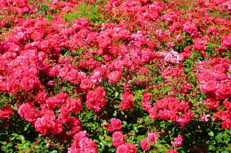 Härlig buske av lösa rosa rosor med gröna sidor som tas på en solig sommardag En ros ?r en tr?ig perenn blomningv?xt arkivbilder