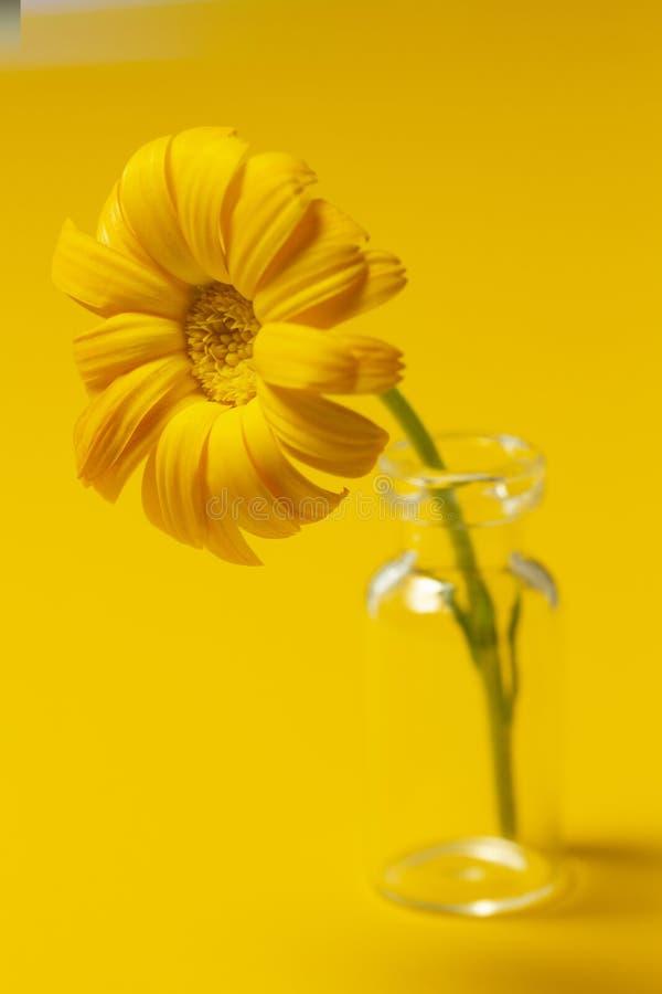 Härlig calendulablomma i exponeringsglaskrus på en gul bakgrund Alternativt medicinbegrepp Minimalismstil arkivbild