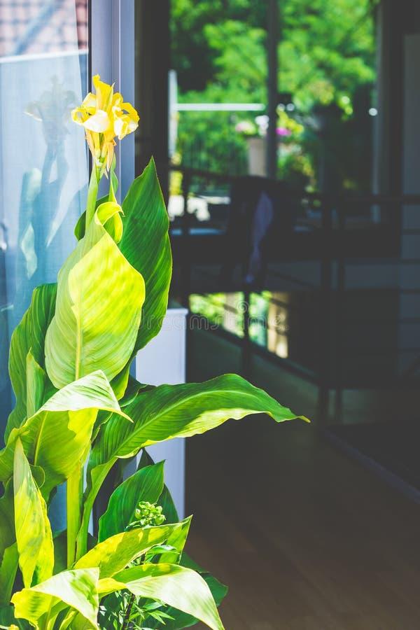 Härlig Canna växt med blommor på uteplatsfönstret royaltyfri fotografi