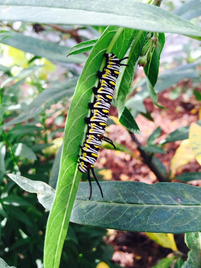 härlig caterpillar royaltyfri bild
