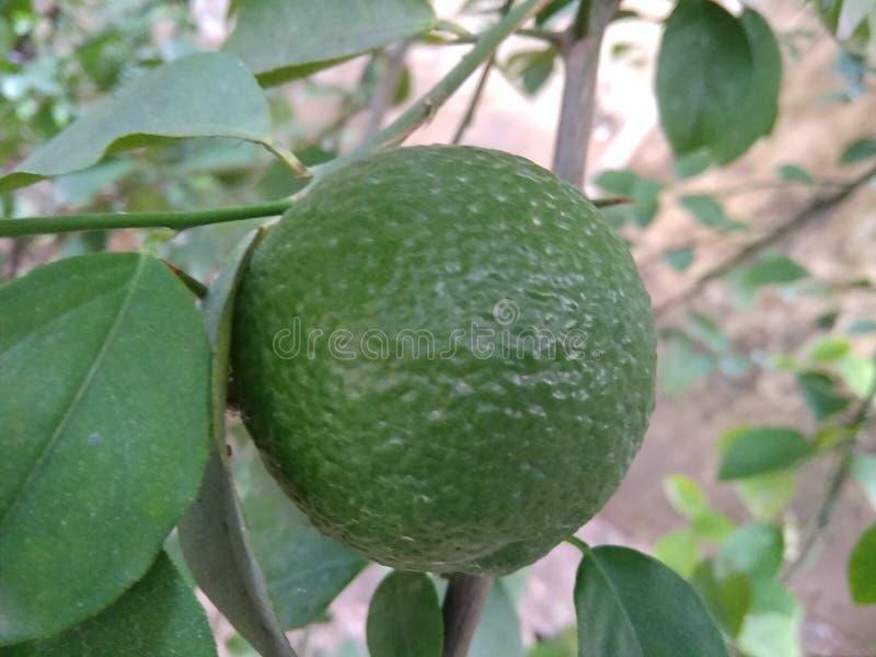 Härlig citron med liv royaltyfria foton