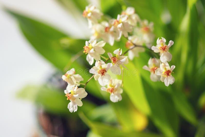 Härlig closeup av för vitt en mini- orkidé Oncidium för orkidé glimt royaltyfria bilder