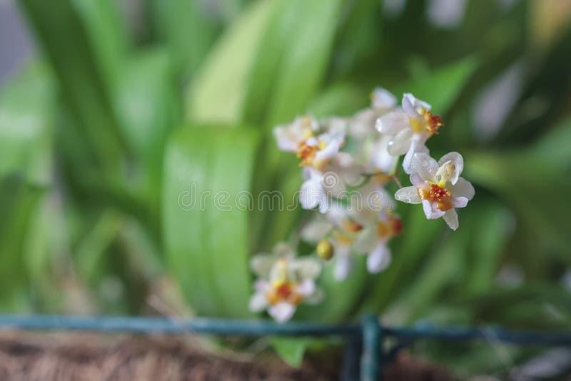 Härlig closeup av för vitt en mini- orkidé Oncidium för orkidé glimt royaltyfria foton