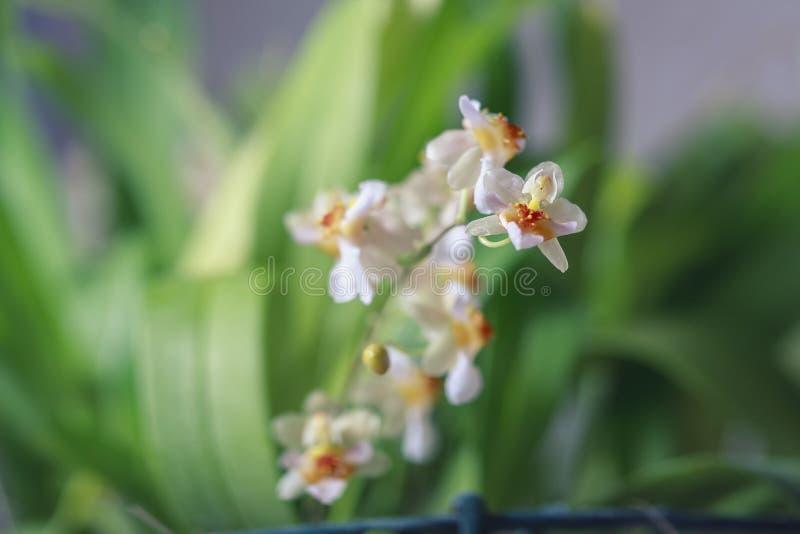 Härlig closeup av för vitt en mini- orkidé Oncidium för orkidé glimt arkivbilder