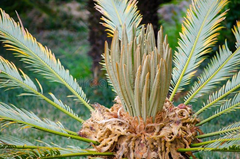 Härlig CycasRevoluta palmträd i en tropisk botanisk trädgård royaltyfri fotografi